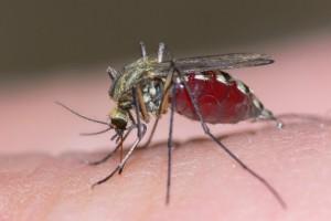 mosquito-300x200