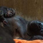 Proud Gorilla Mother Can't Stop Kissing Her Newborn Baby